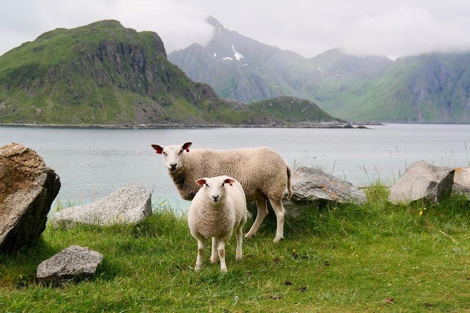 Sheep, Lamb, Water, Mountains, Sea, Green, Landscape