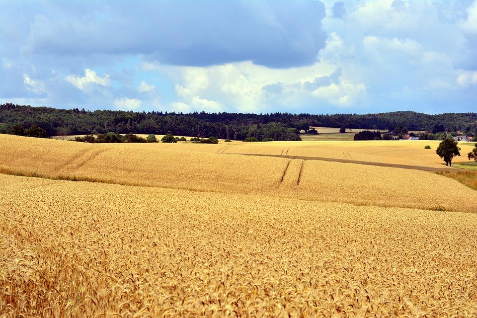 Cereal Fields, Landscape, Summer, Cornfield, Field