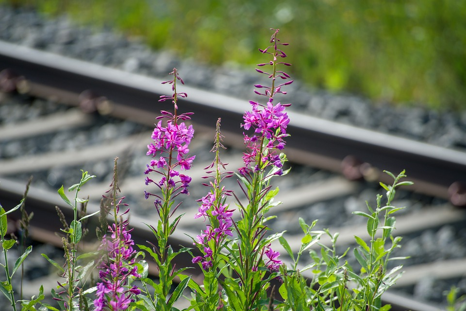 Sweden, Fjäll, Landscape, Seemed, Plant, Flower, Purple