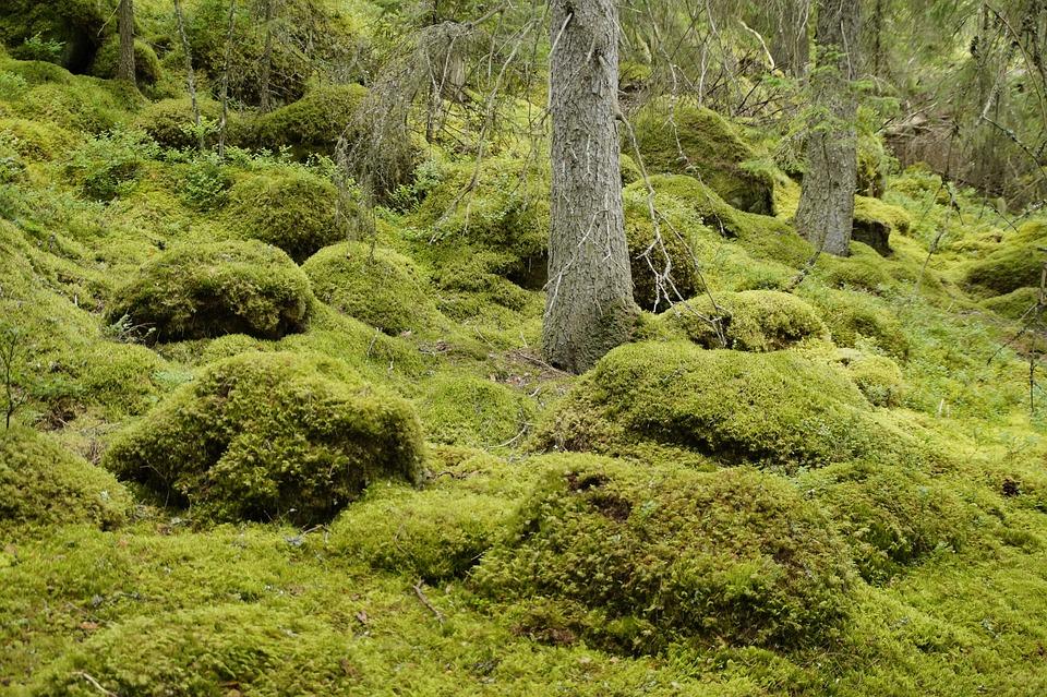 Landscape, Vegetation, Sweden, Forest, Moss