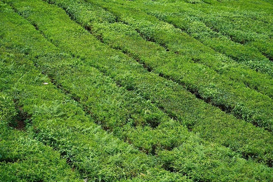 Tea, The Tea Plantations, Beautiful, Texture, Landscape