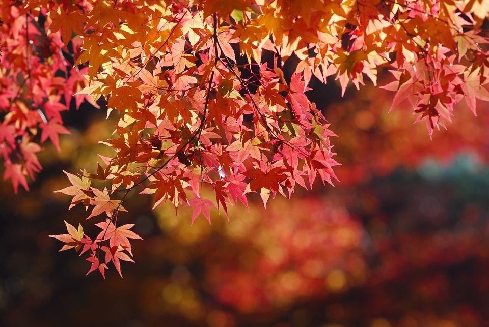 Maple Leaf, Landscape, Tree