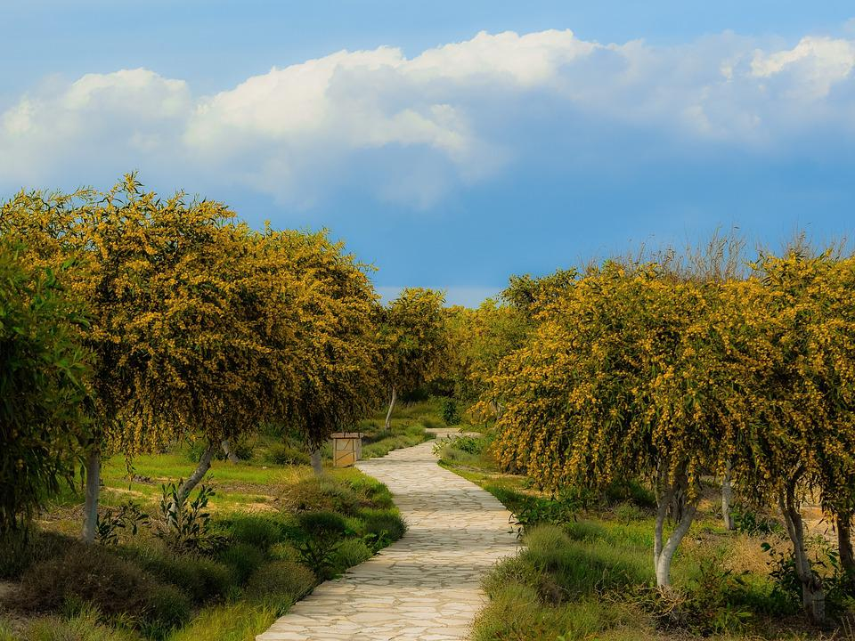 Tree, Mimoza, Landscape, Path, Grove, Spring, Season