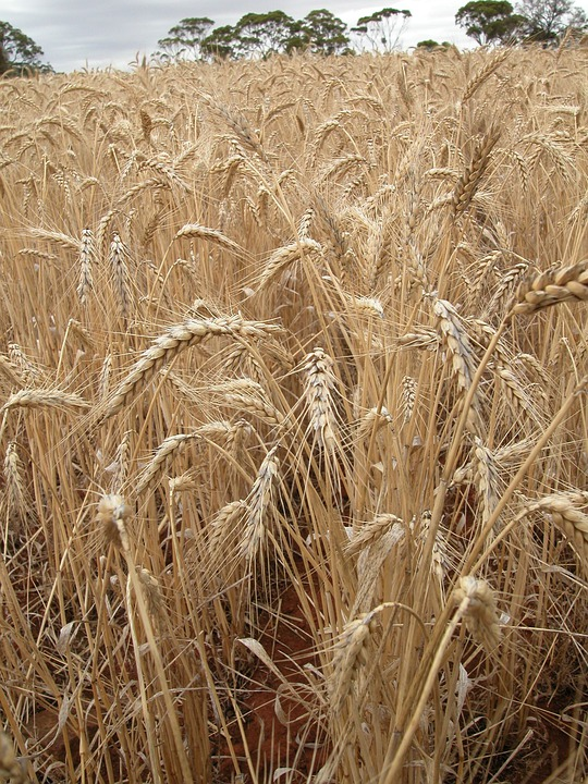 Wheat, Wheat Field, Cereal, Landscape, Agriculture