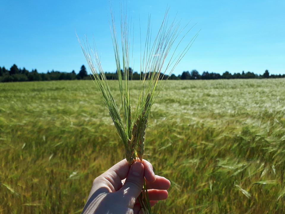 Summer, Nature, Field, Wheat, Fields, Rye, Landscape