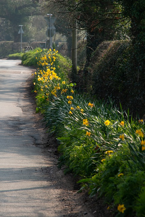 Daffodils, Flowers, Lane, Road, Street, Country, Bloom