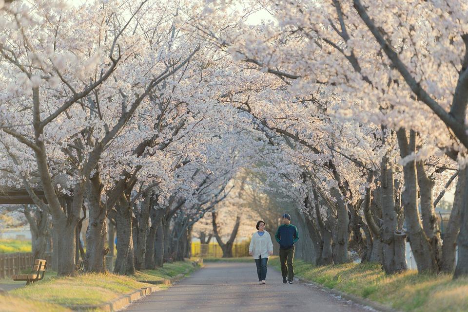 Couple, Walking, Sakura Trees, Lane, Path, Walk, Stroll