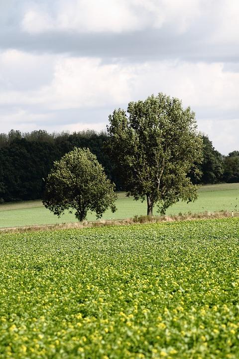 Lane, Trees, Oilseed Rape, Autumn, Walk, Golden Autumn