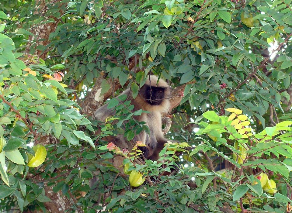Monkey, Hanuman, Langur, Animal, Mamma, Primate, Wil