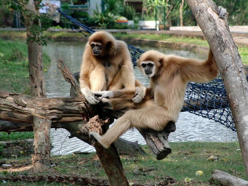 Lar Gibbon, Lar, Monkey, Primacy, Hylobates Lar, Zoo