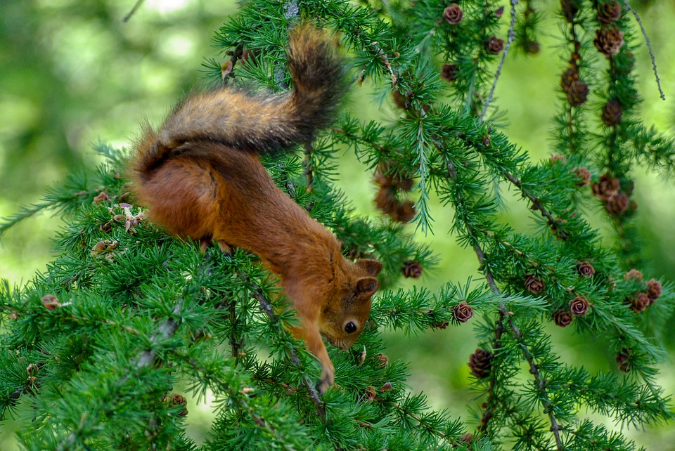 Squirrel, To Reach, Search, Cone, Larch, Close-up