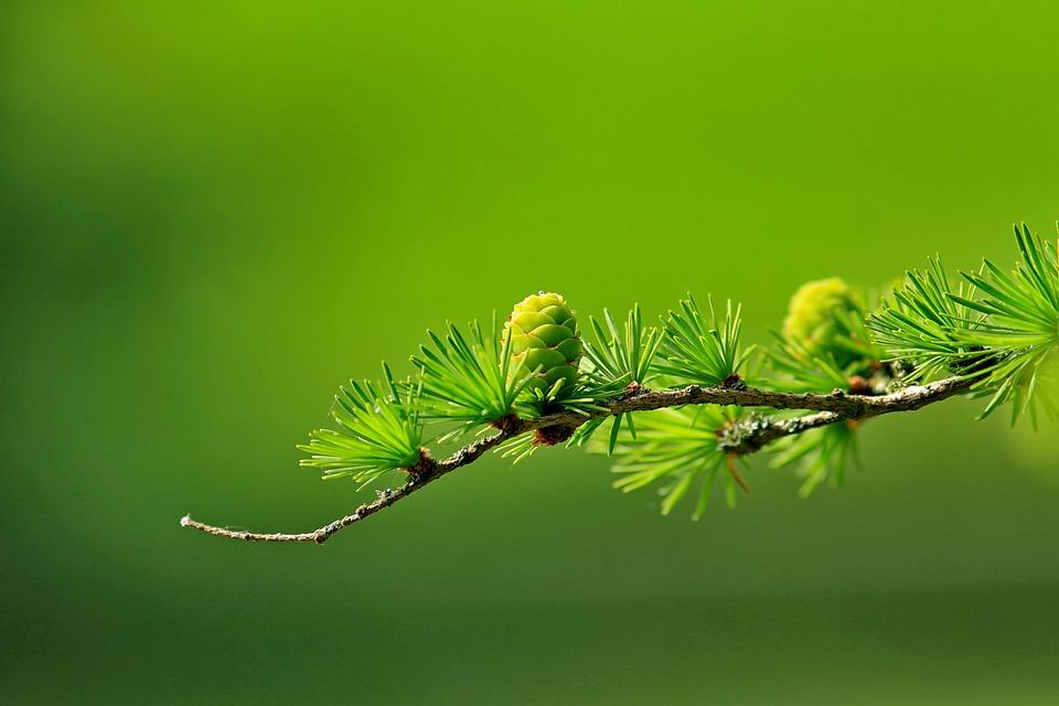 Tree, Branch, Cones, Larch Needles, Larch