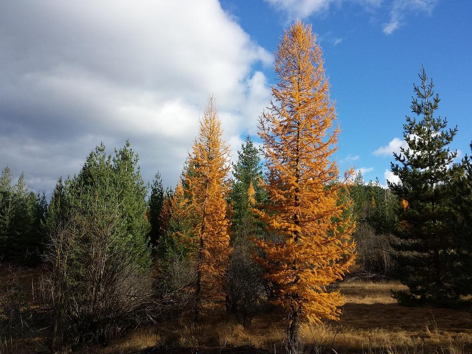 Tamarack Trees, Larch Trees, Idaho Forest, Scenery