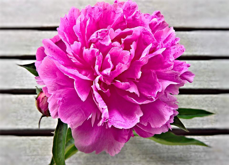 Flower, Peony, Blossomed, Bud, Large Blooms, Pink