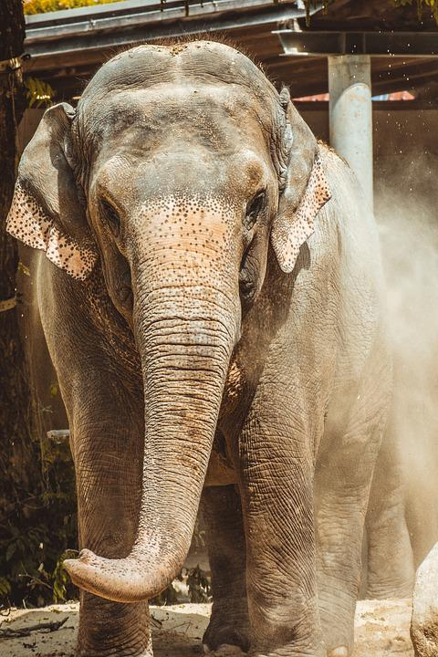 Elephant, Zoo, Large, Grey, Mammal, Enormous, Proboscis