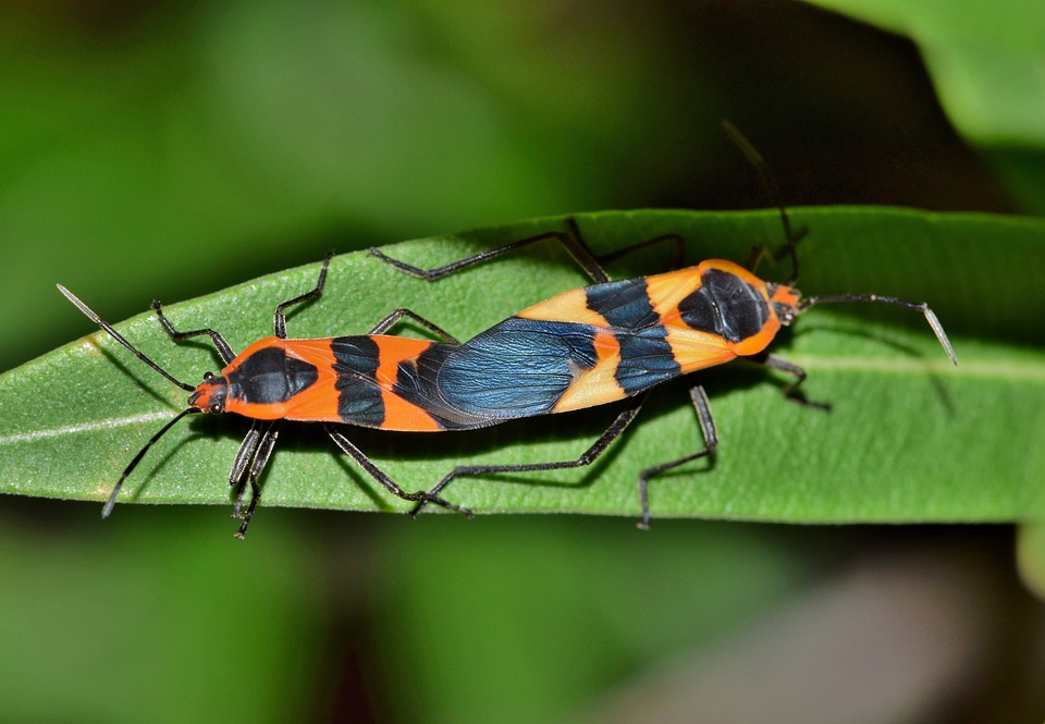 Large Milkweed Bug  Bug  Insect  Black And Orange. Free photo Large Milkweed Bug Bug Black And Orange Insect   Max Pixel