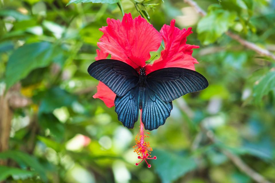 Butterfly, Black, Thailand, Large Of Mormon