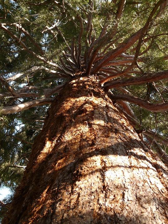 Sequoia, Tribe, Bark, Large, Powerful, Aesthetic