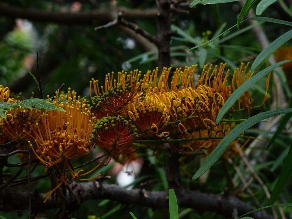 Grevillea Robusta, Flowers, Yellow, Large, Silver Oak
