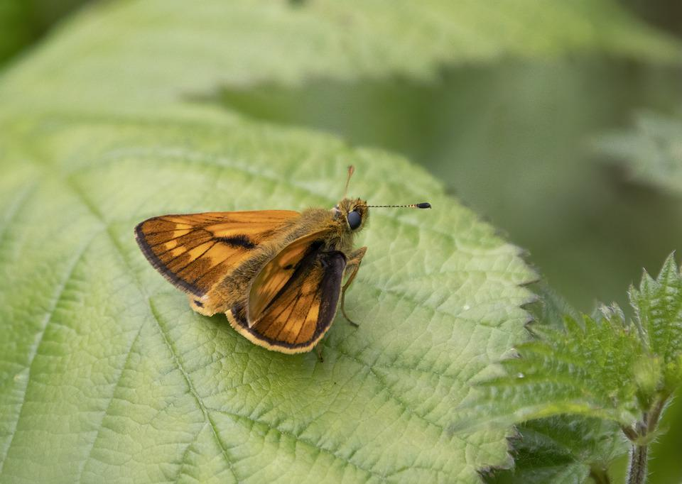 Large Skipper, Butterfly Wings, Summer, Nature, Insect