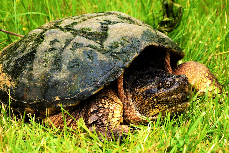 Turtle, Snapping Turtle, Large, Crawling, Reptile