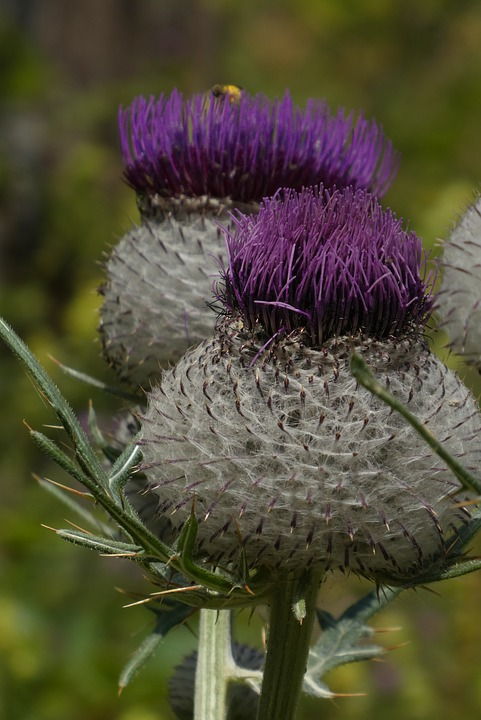 Large Thistle, Mountains, Alps, Flora, Austria