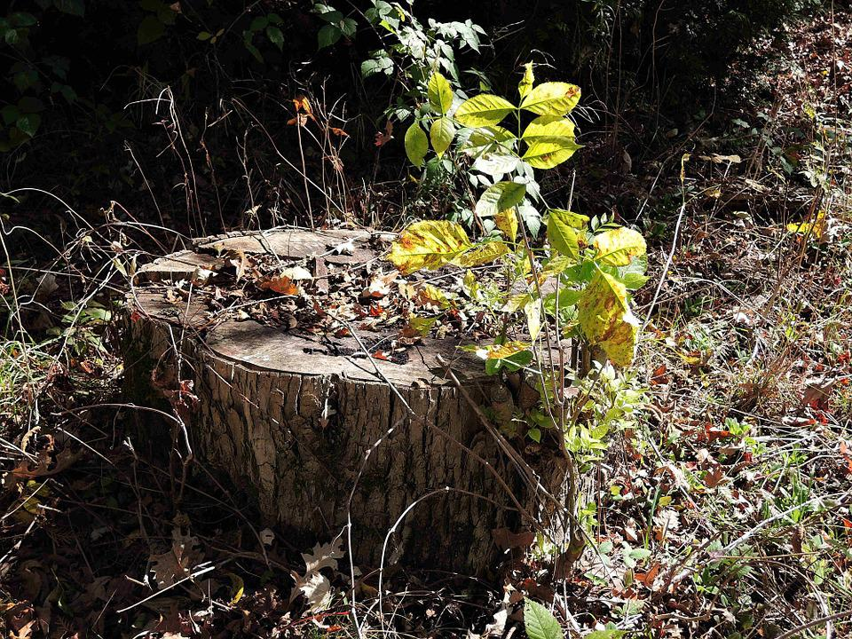 Tree Stump, Large Tree, Woods, Nature, Outdoors