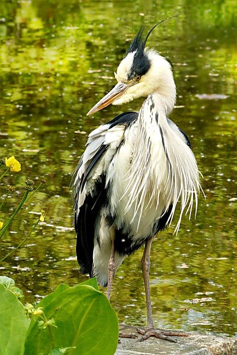 Animal, Bird, Water Bird, Large, Heron, Grey Heron