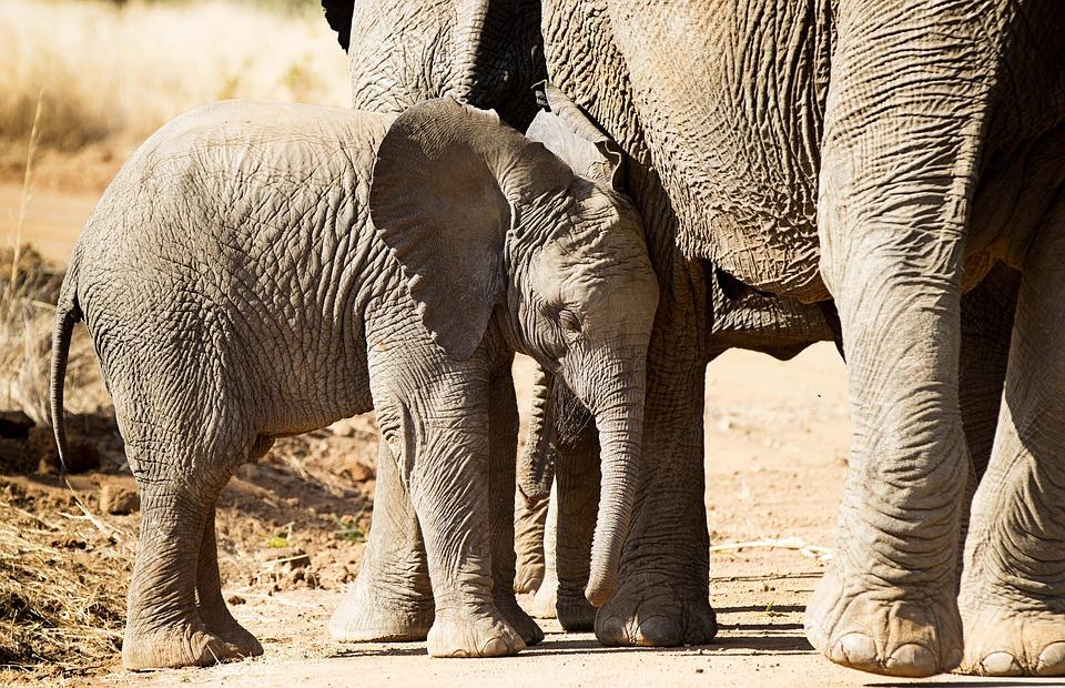 Elephant, Africa, Large, Wildlife, Safari, Trunk, Tusk