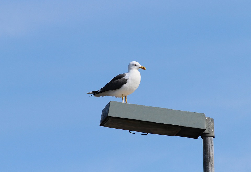 Herring Gull, Larus Argentatus, Gulls, Species