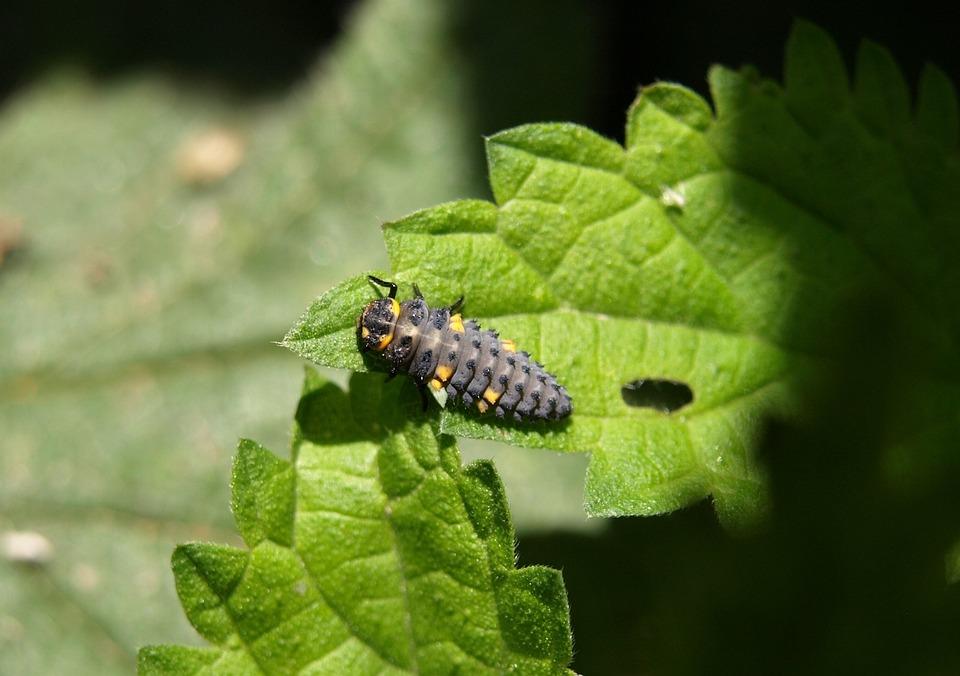 Marienkäfer Larva, Larva, Insect, Ladybug, Beetle