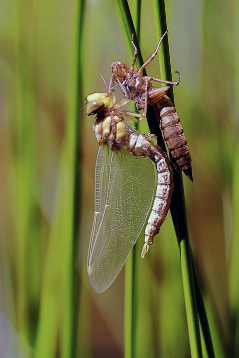 Dragonfly, Birth, Metamorphosis, Larva, Vacuum Sleeve
