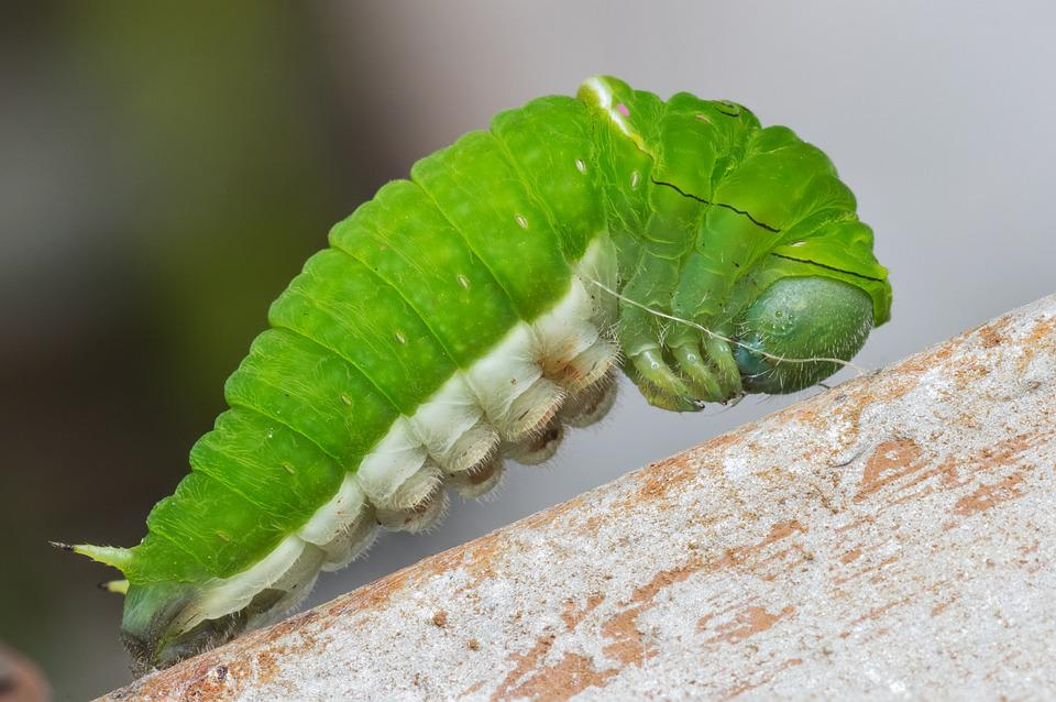 Caterpillar, Nature, Wildlife, Larva, Bug