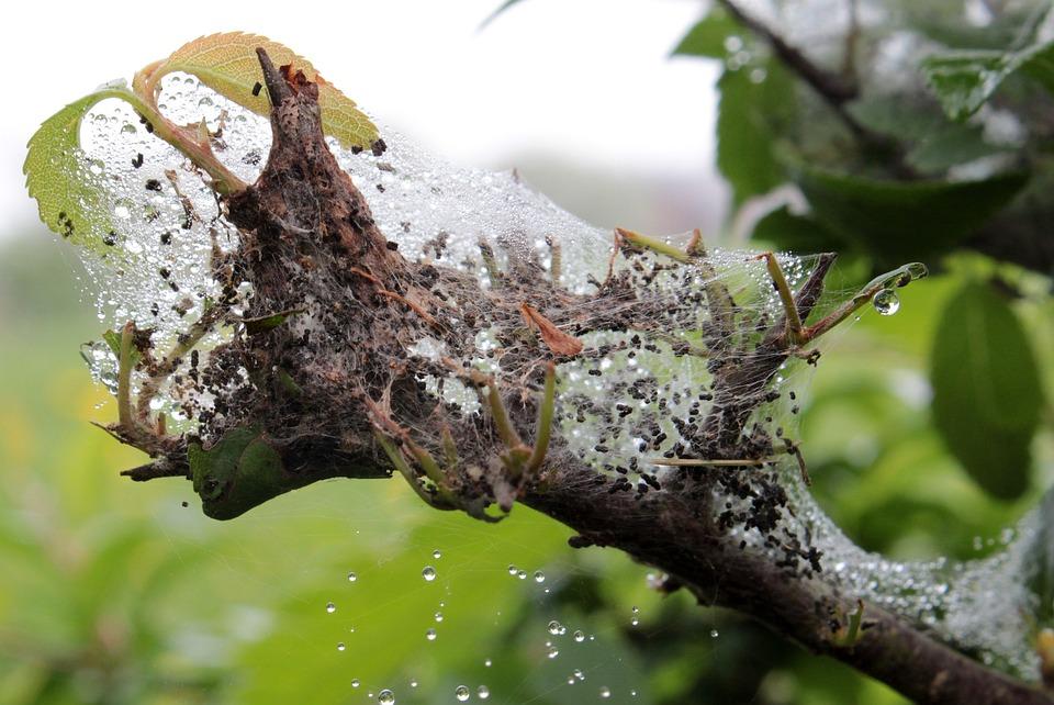 Larvae Nest, Spun Yarn, Moth Larvae