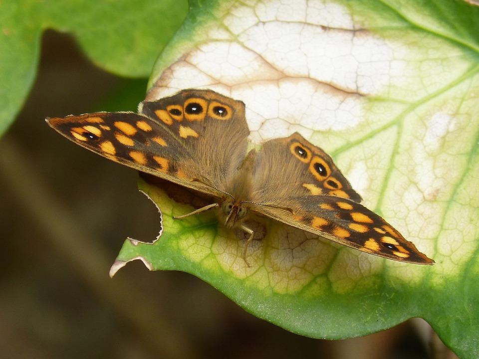 Butterfly, Saltacercas, Margenera, Lasiommata Megera