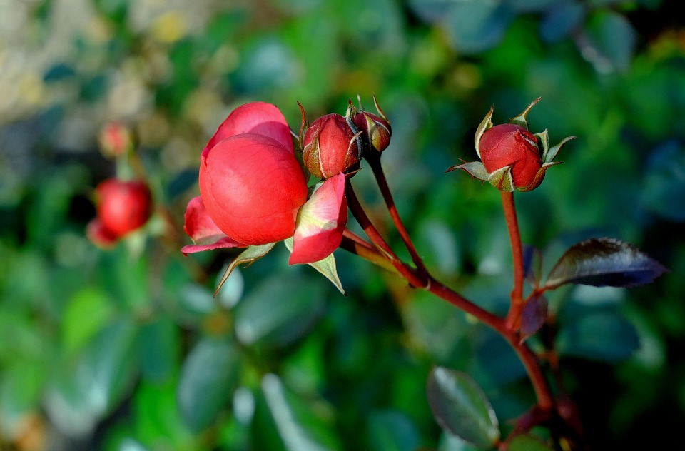 Rose, Red, Rose Bud, Plant, Late Autumn