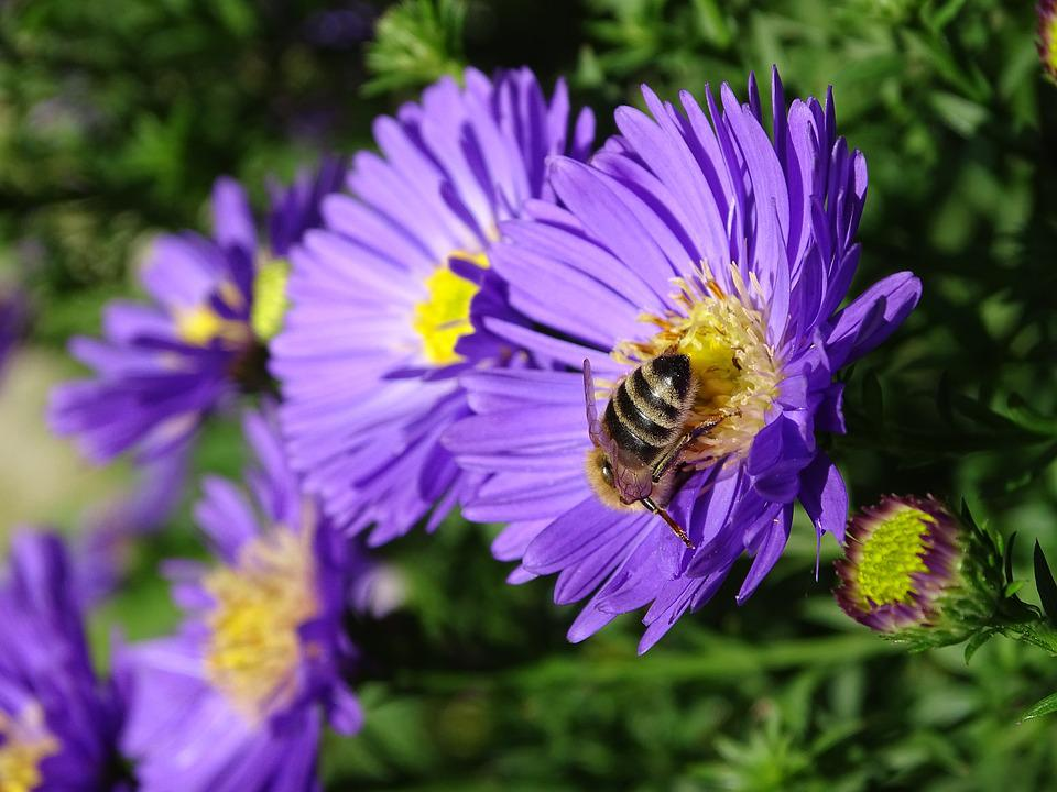 Aster, Herbstaster, Bee, Autumn, Late Summer
