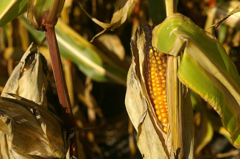 Corn, Plant, Summer, Cornfield, Late Summer, Nature