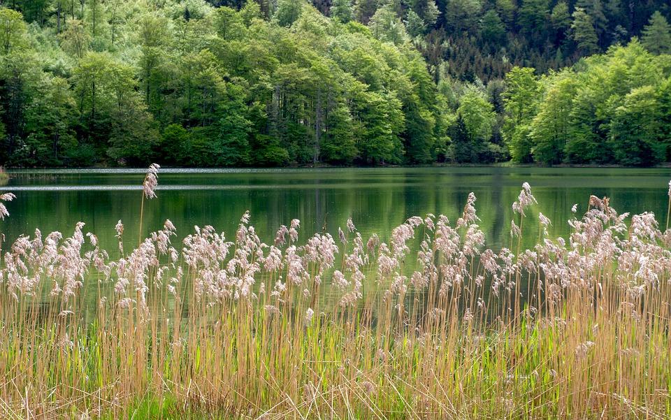 Reed, Lake, Nature, Tree, Waters, Landscape, Laudachsee