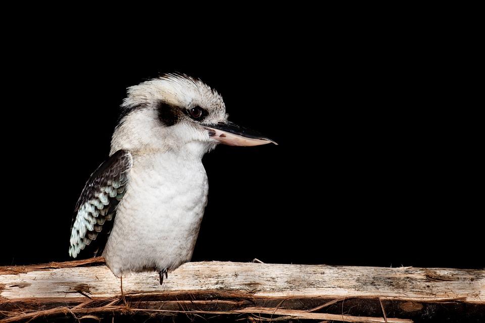 Laughing Kookaburra, Bird, Kingfisher, Perched