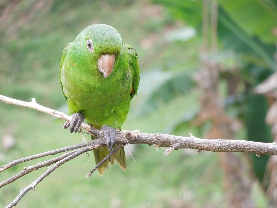 Maritaca, Parrot, Laurel, Bird, Tropical Birds, Birdie