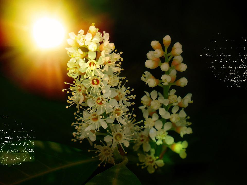 Laurel Blossom, Flowers, Plant, Bayberry, Bush