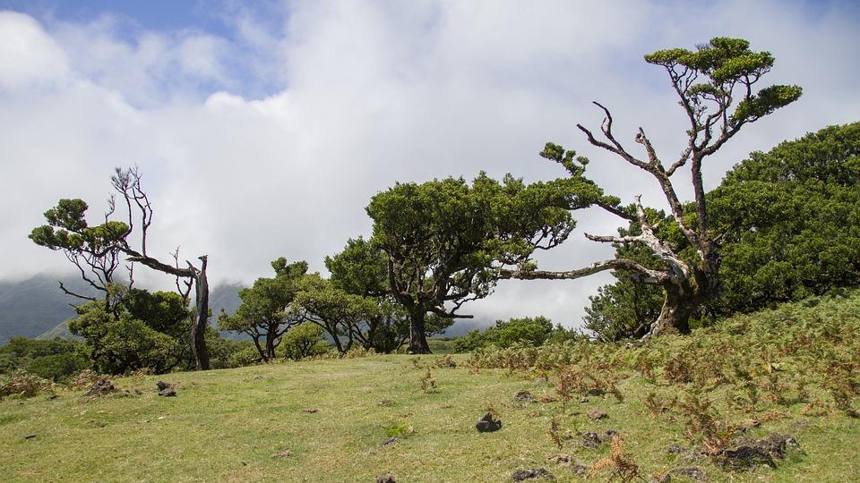 Laurel Forest, Laurel Tree, Madeira