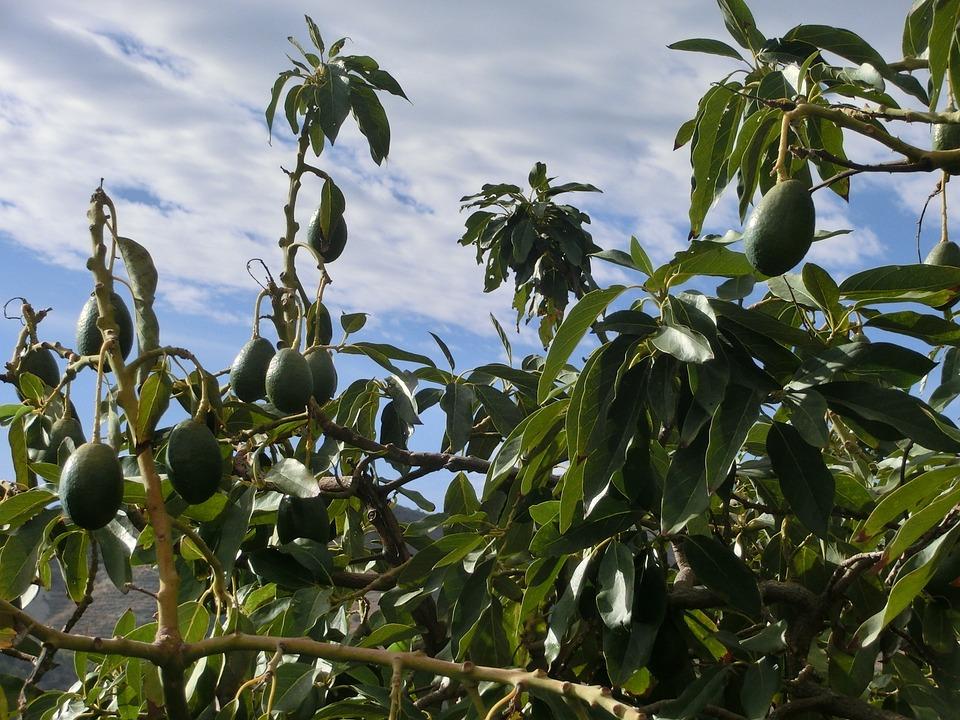 Avocado, Tree, Plant, Laurel Greenhouse, Green
