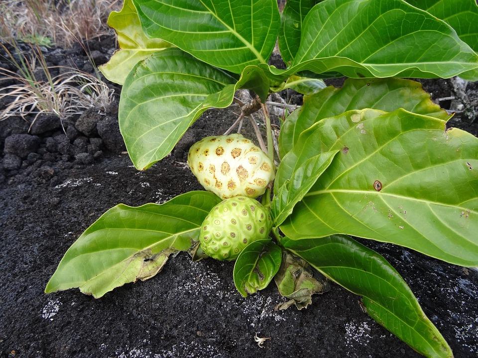 Laurel Plant, Plant, Growth, Earth, Lava, Fruitful