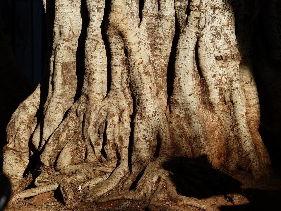 Tree, Log, Tribe, Large, Massive, Laurel Tree