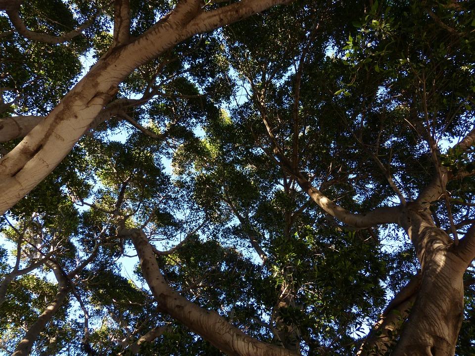 Tree, Crown, Canopy, Tribe, Aesthetic, Laurel Tree