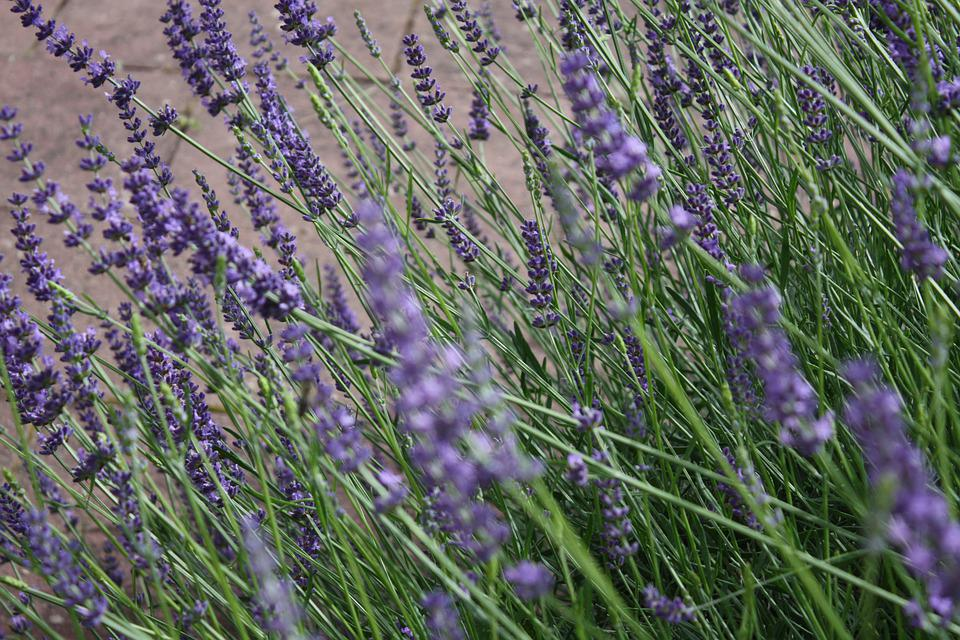 Lavendel, Flowers, Summer, Nature, Garden, Garten