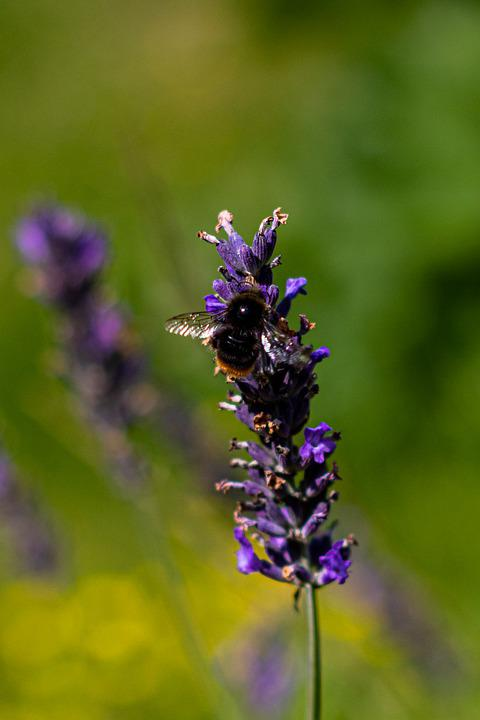 Bee, Lavender, Flower, Nourishment, Macro, Pollination
