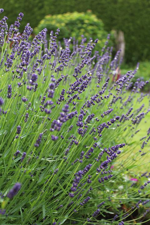 Lavender, Flower, Blossom, Bloom, Purple, Nature
